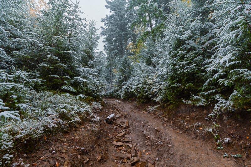 Traînez dans la forêt de pin et la première neige images libres de droits