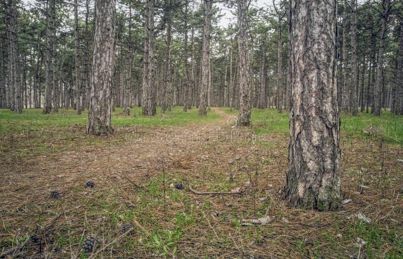 Traînez dans la forêt de pin un jour nuageux images libres de droits