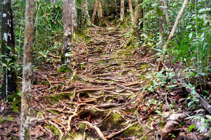 Traînez dans la forêt tropicale au parc national de Bako image libre de droits