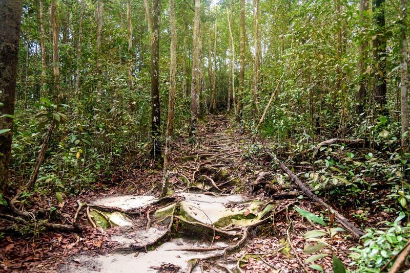 Traînez dans la forêt tropicale au parc national de Bako photographie stock libre de droits