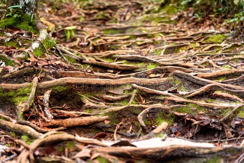 Traînez dans la forêt tropicale au parc national de Bako photos libres de droits