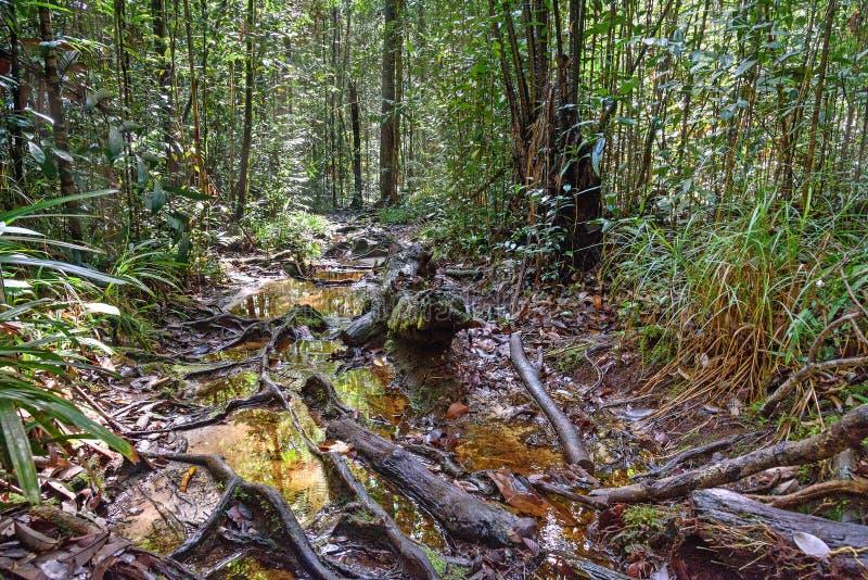 Traînez dans la forêt tropicale au parc national de Bako photographie stock