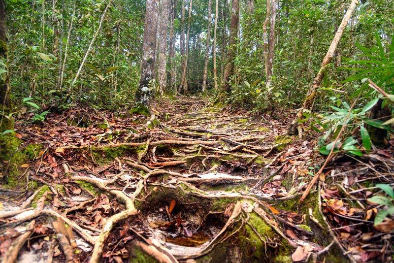 Traînez dans la forêt tropicale au parc national de Bako photo libre de droits