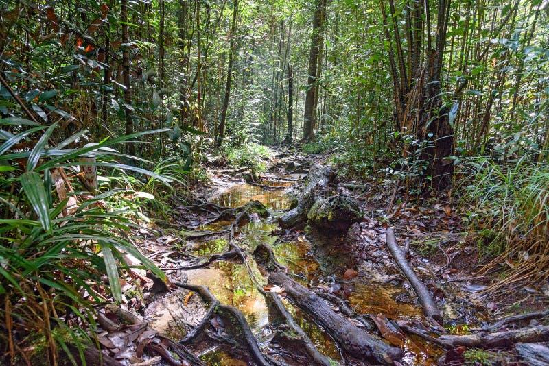 Traînez dans la forêt tropicale au parc national de Bako images libres de droits