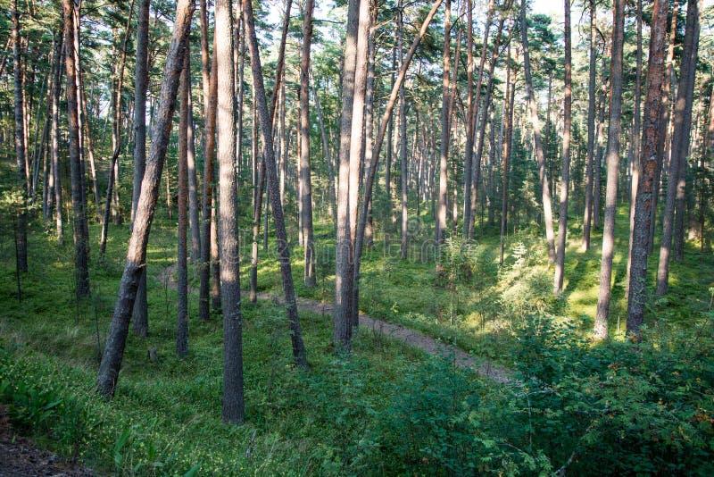Traînez dans les bois près de la mer dans les dunes photos libres de droits
