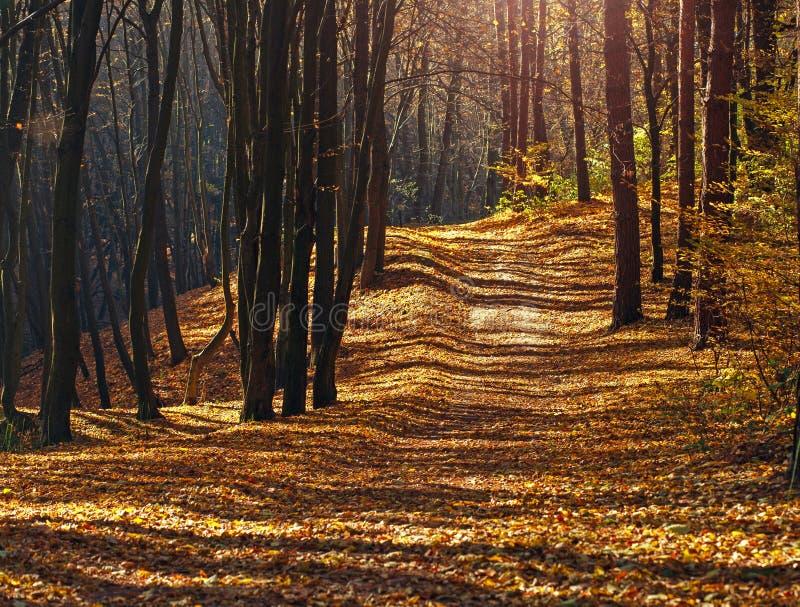 Traînez en bois d'automne couverts de feuilles jaunes dans la lumière de coucher du soleil image libre de droits