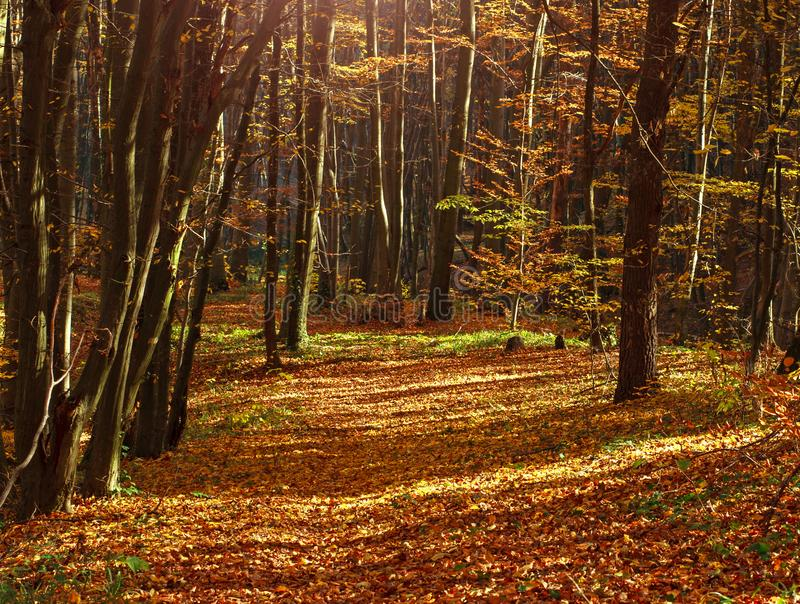 Traînez en bois d'automne couverts de feuilles jaunes dans la lumière de coucher du soleil photo stock