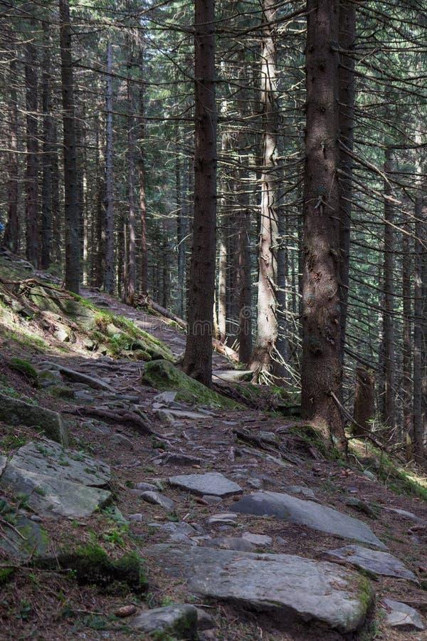 Traînez envahi par de la mousse dans une forêt de montagne de Carpathiens photographie stock