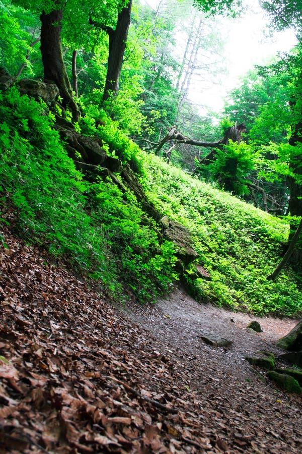 Traînez par les arbres grands dans une forêt luxuriante image libre de droits
