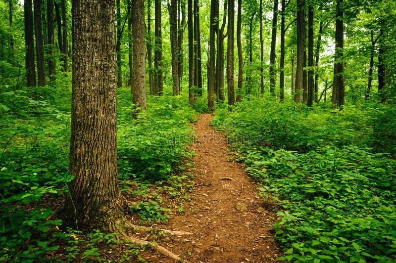 Traînez par les arbres grands dans une forêt luxuriante, Shenandoah P national images stock