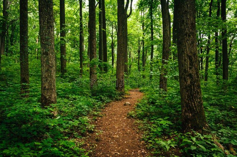 Traînez par les arbres grands dans une forêt luxuriante, Shenandoah P national photos libres de droits