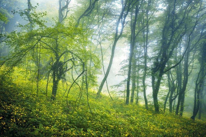 Traînez par une forêt foncée mystérieuse en brouillard photographie stock