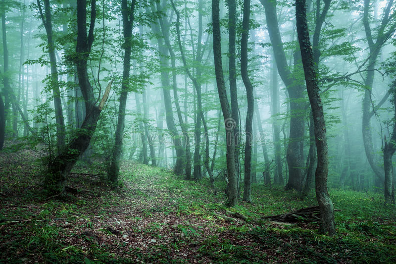 Traînez par une forêt foncée mystérieuse en brouillard avec les feuilles vertes photo libre de droits