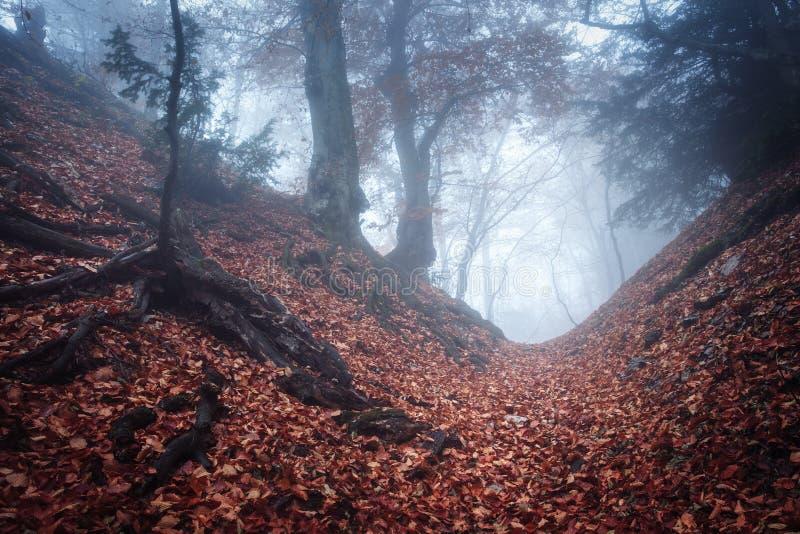 Traînez par une vieille forêt foncée mystérieuse en brouillard Automne images libres de droits