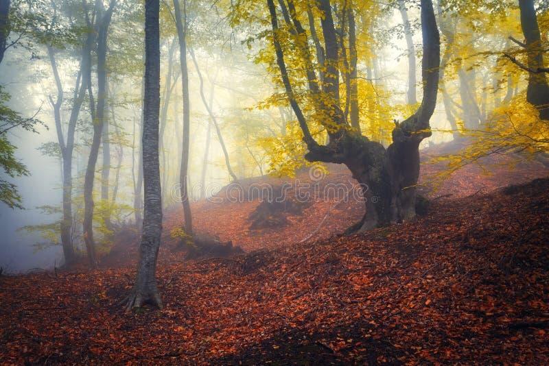 Traînez par une vieille forêt foncée mystérieuse en brouillard Automne photographie stock libre de droits
