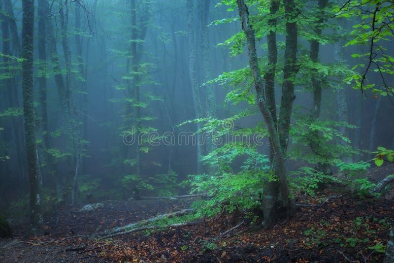 Traînez par une vieille forêt foncée mystérieuse en brouillard Automne photos stock