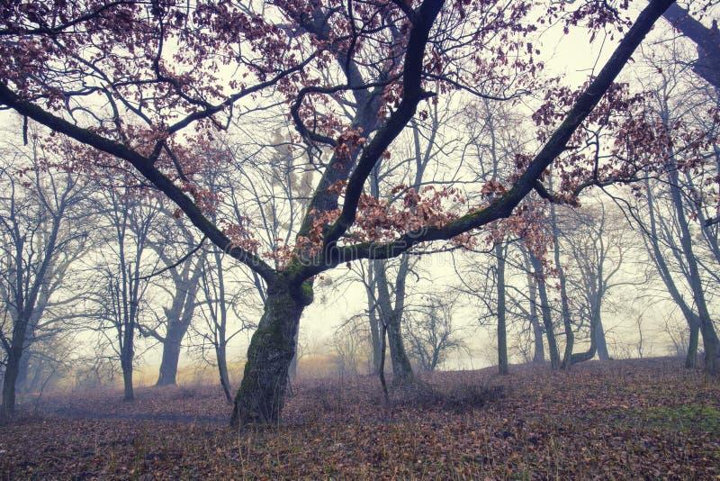 Traînez par une vieille forêt foncée mystérieuse en brouillard Matin d'automne photo stock