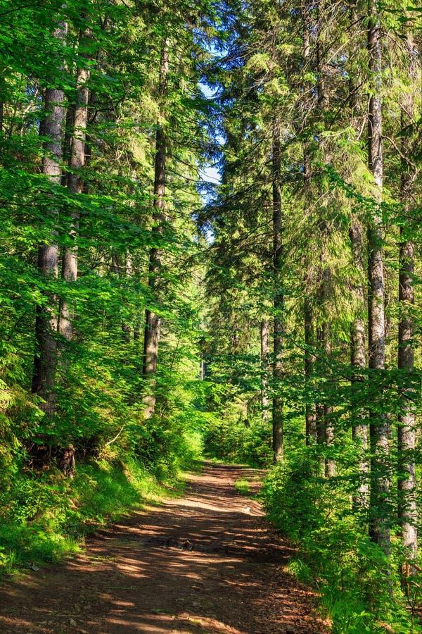 Traînez près dans une forêt conifére grande et dense photo stock