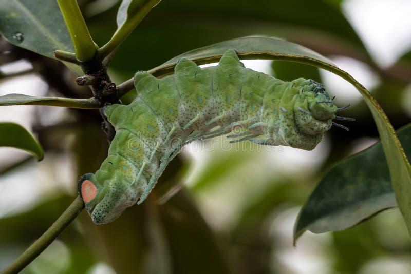Tra?a de atlas - atlas de Attacus - lagarta em sua haste da planta de anfitri?o foto de stock