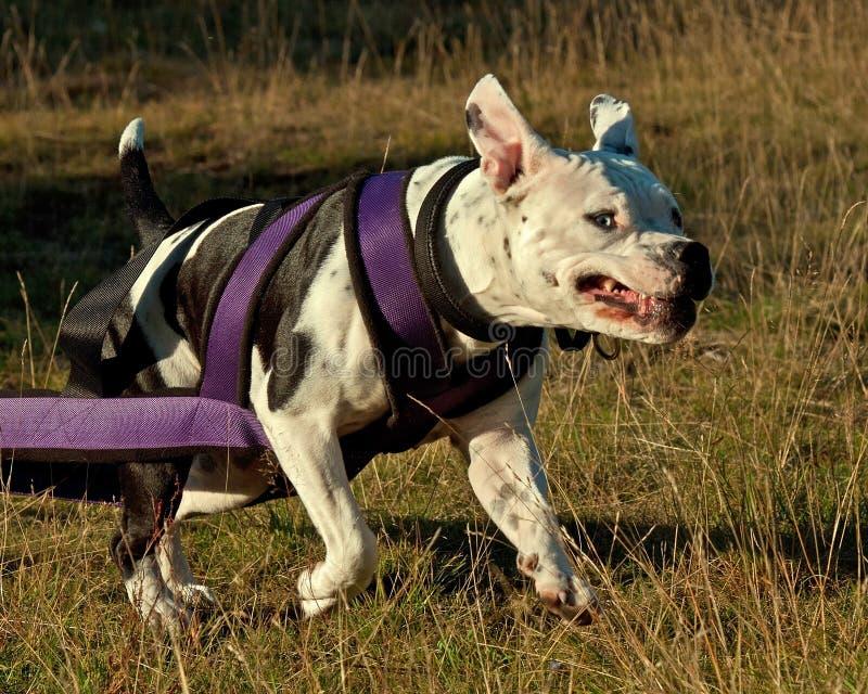 Tra??o do peso para o terrier americano do stafforshire fotos de stock royalty free