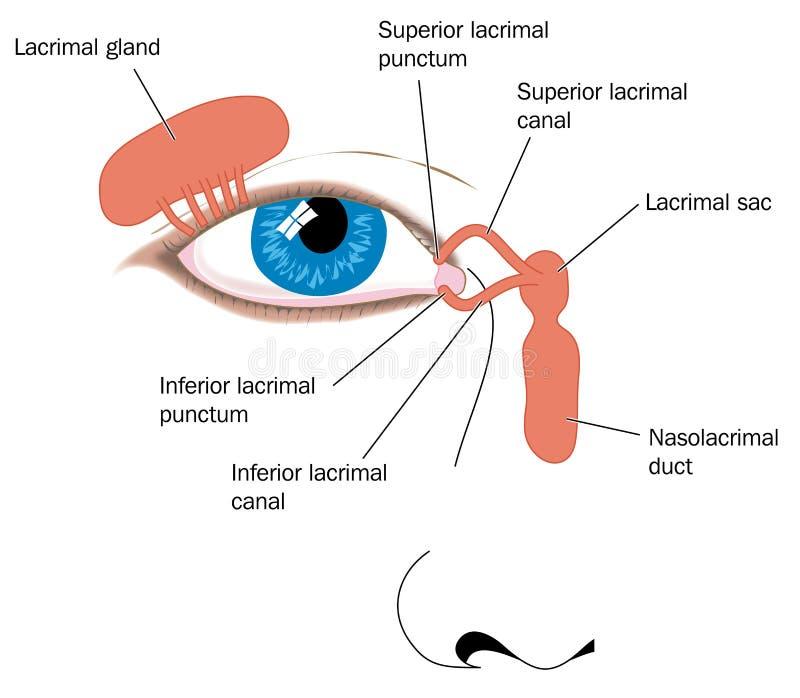 Traanklier vector illustratie