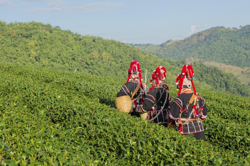Trabajador de granja del té verde que va a cosechar el té verde orgánico imagen de archivo libre de regalías