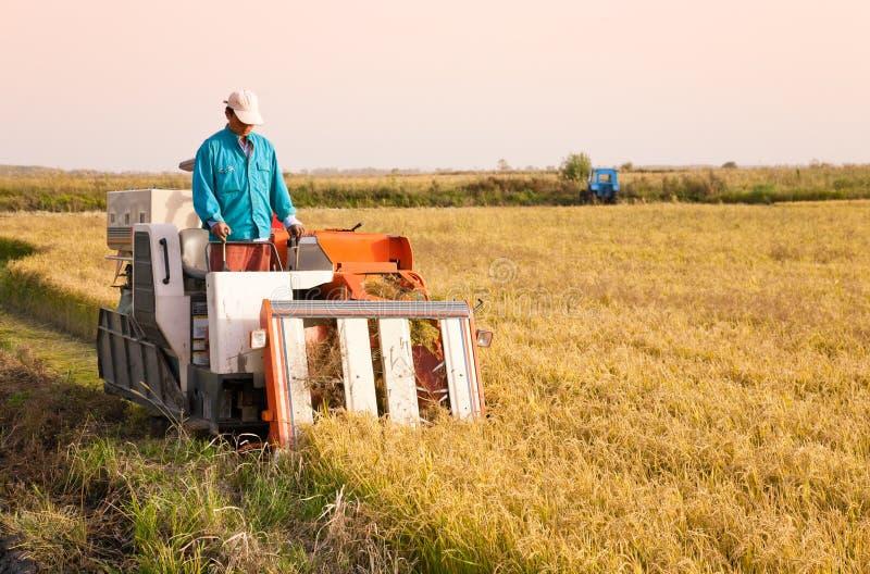 Trabajador de granja que cosecha el arroz imágenes de archivo libres de regalías