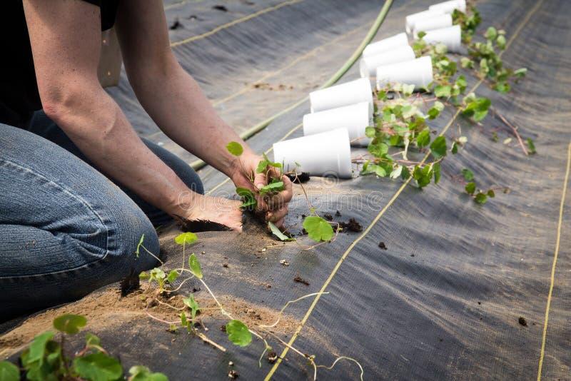 Trabajador de granja que prepara y que trasplanta la nueva planta orgánica del mashua imagenes de archivo