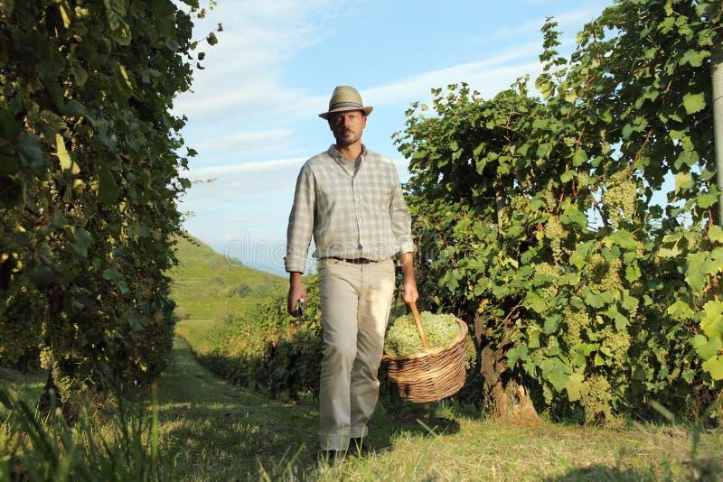 Trabajador de la cosecha del vino con la cesta de mimbre llena de manojos de uvas imágenes de archivo libres de regalías