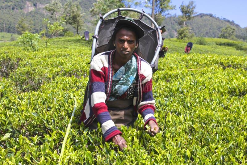 Trabajador de sexo femenino que cosecha las hojas en la plantación de té imágenes de archivo libres de regalías