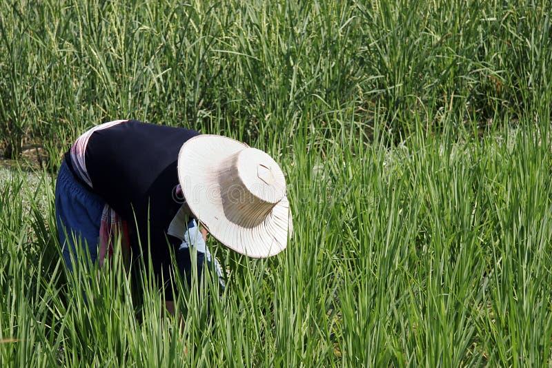 Trabajador del arroz de arroz imagen de archivo libre de regalías