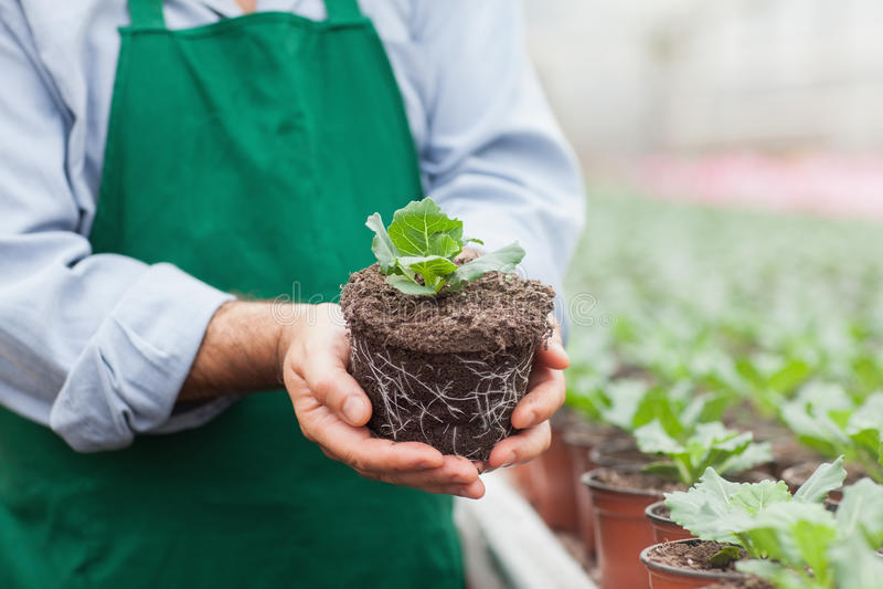 Trabajador del centro de jardinería que sostiene la planta fuera de su pote imagenes de archivo