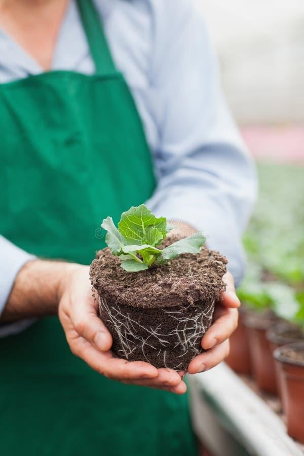 Trabajador del centro de jardinería que sostiene la planta fuera de su pote fotografía de archivo libre de regalías