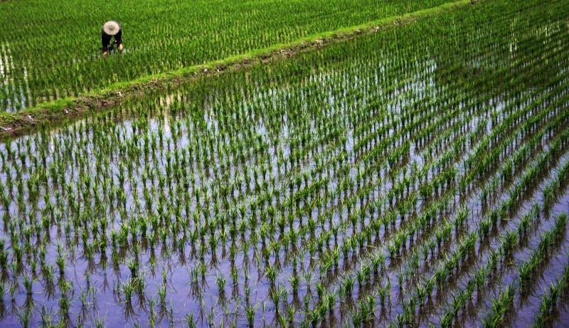 Trabajador en un campo del arroz foto de archivo