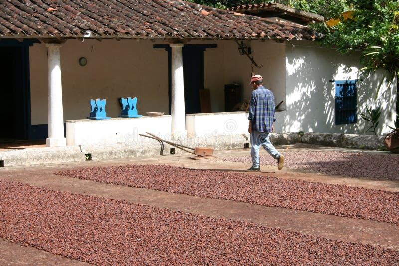 Trabajador en una granja del cacao imagenes de archivo