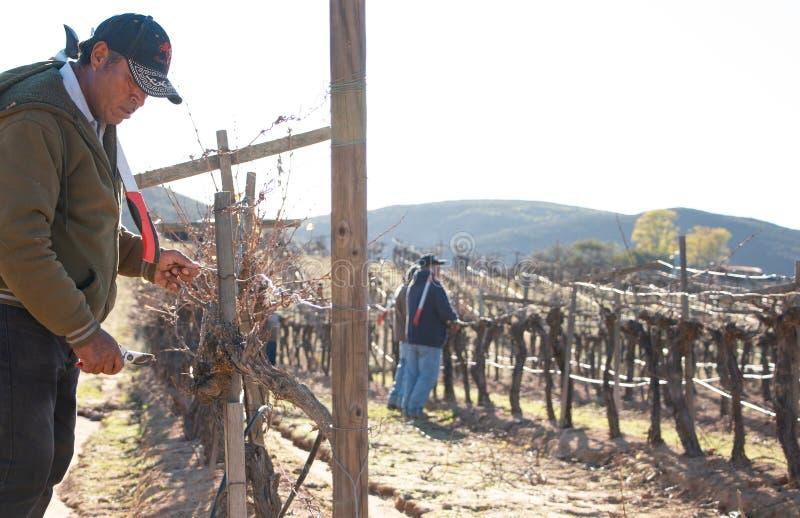 Trabajador mexicano que arregla cosechas del vino en Valle de Guadalupe imagen de archivo
