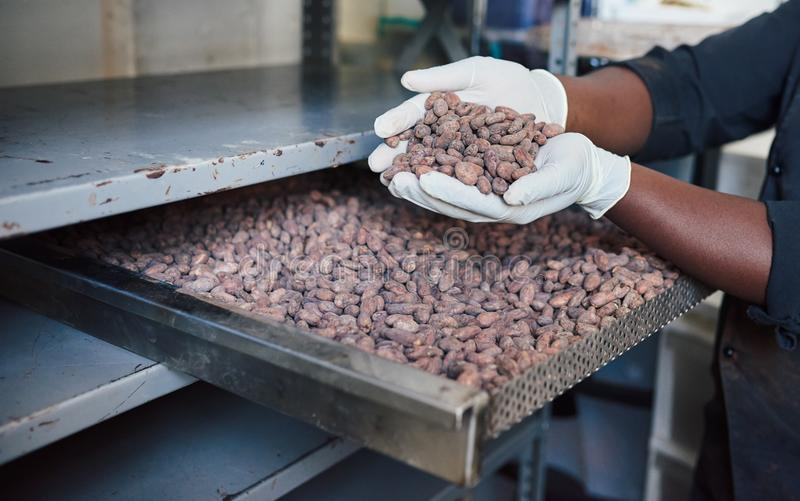 Trabajador que examina granos de cacao de una bandeja de la fábrica foto de archivo libre de regalías