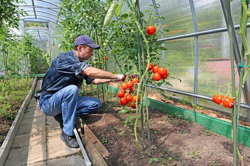 Trabajador que procesa los arbustos de los tomates en el invernadero del polyc foto de archivo libre de regalías