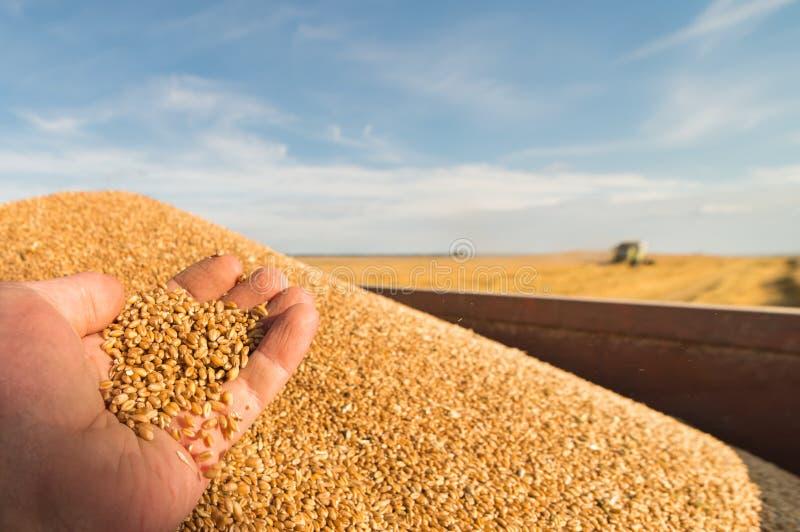 Trabajador que sostiene granos del trigo en su mano imagen de archivo libre de regalías