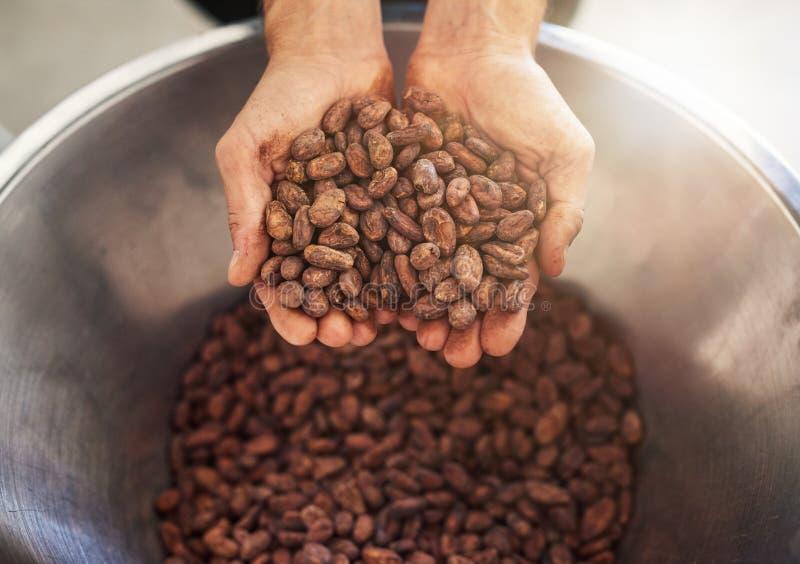 Trabajador que sostiene un puñado de habas del cocao para la producción del chocolate fotos de archivo libres de regalías