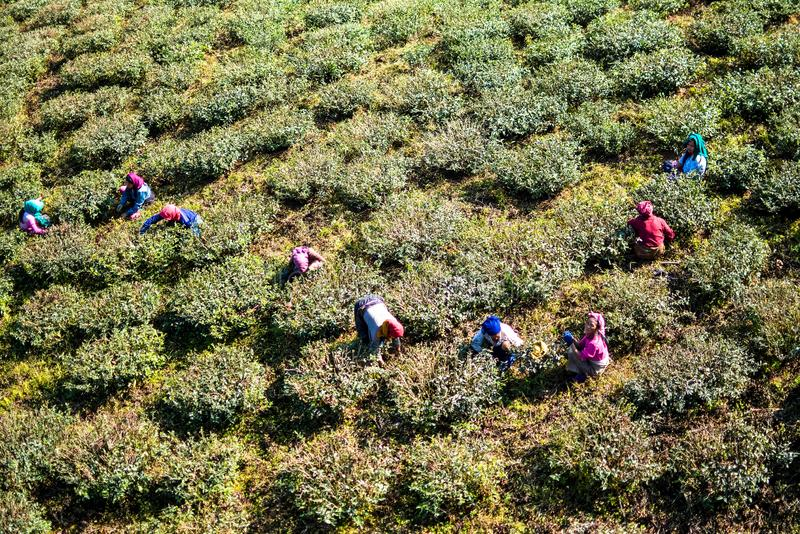 Trabajadores Darjeeling del jardín de té fotografía de archivo