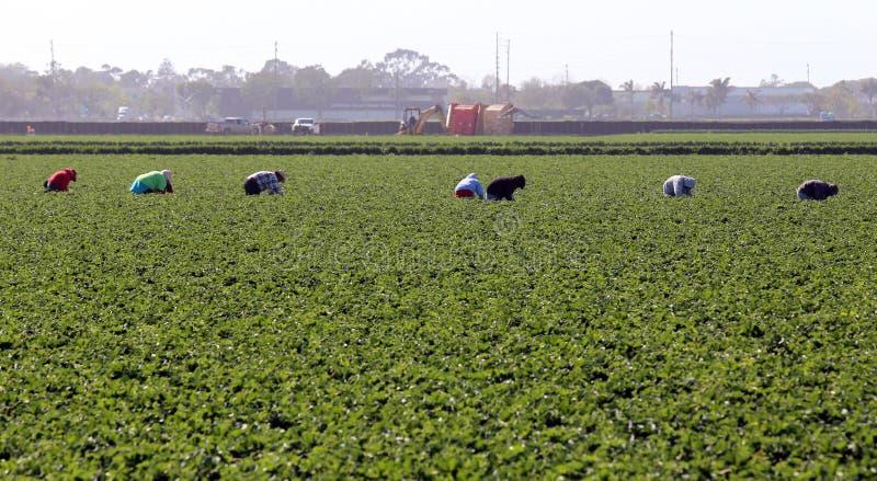 Trabajadores de granja en Oxnard imagen de archivo