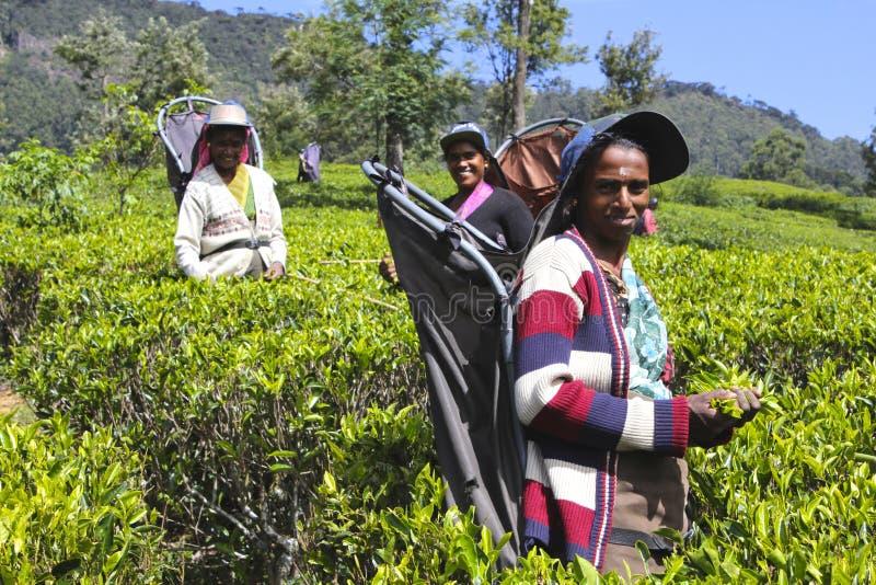 Trabajadores de sexo femenino del té en campo srilanqués colorido fotografía de archivo