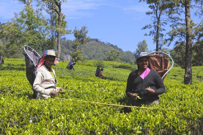 Trabajadores de sexo femenino que cosechan las hojas en la plantación de té 2 fotos de archivo