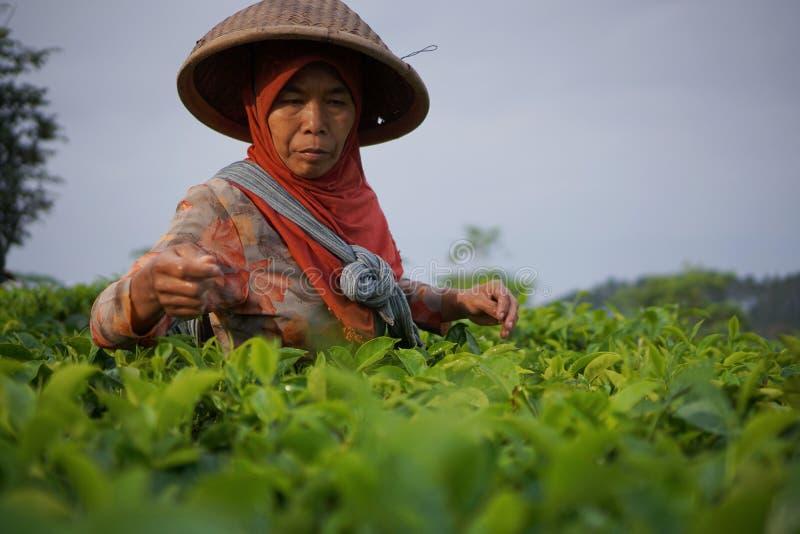 Trabajadores de sexo femenino que escogen las hojas de té en la plantación de té foto de archivo libre de regalías