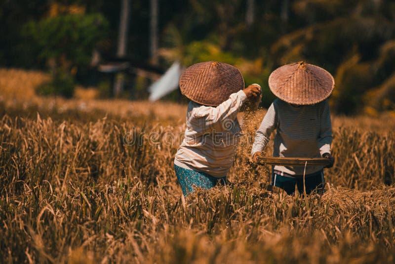 Trabajadores del dúo del arroz imágenes de archivo libres de regalías