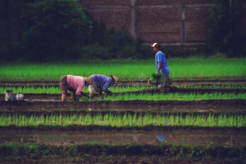 Trabajadores en campo del arroz imagen de archivo