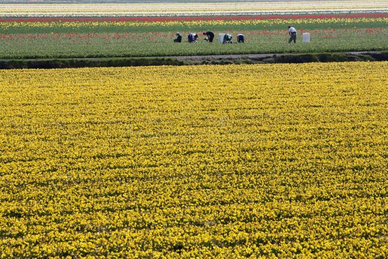 Trabajadores en campos de flor foto de archivo