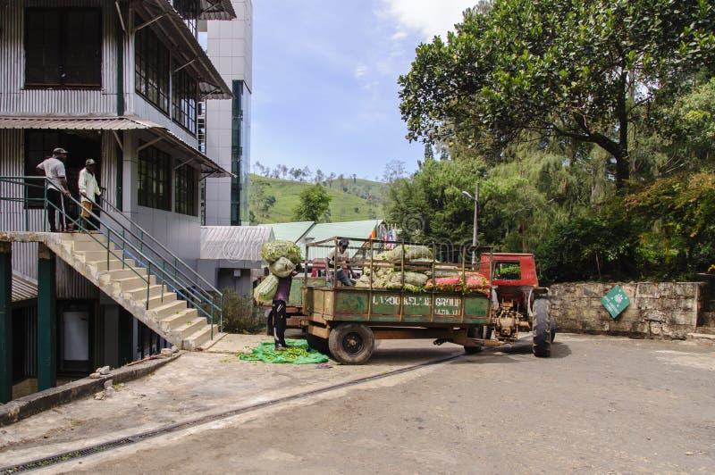 Trabajadores en la fábrica del té fotografía de archivo libre de regalías