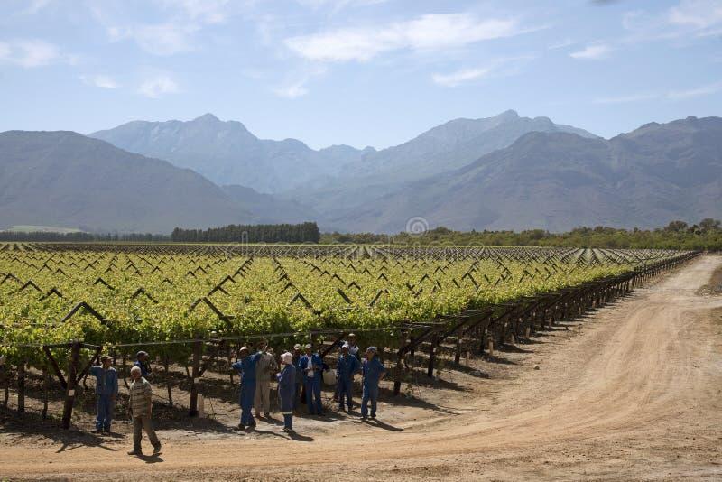 Trabajadores que atan la región Suráfrica de Botrivier de las vides foto de archivo libre de regalías